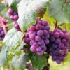Mitmekülgne viinamarjaseemneõli aitab hoida välimuse ja tervise korras